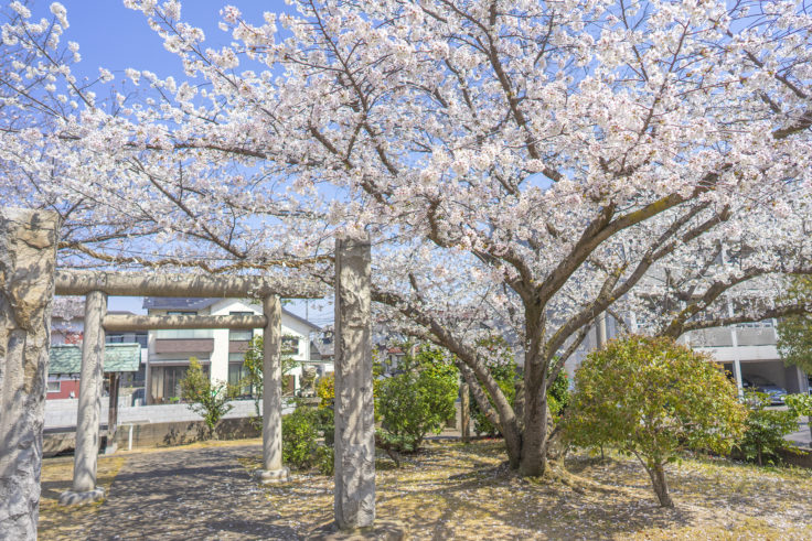 香東神社の桜