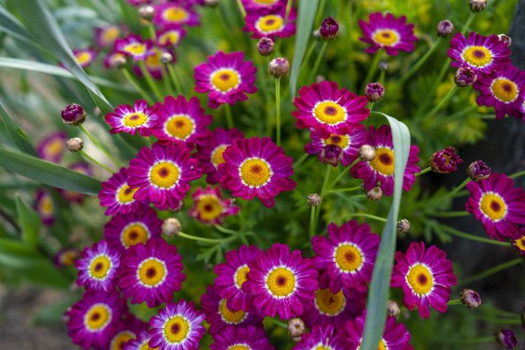 紫のマーガレット
