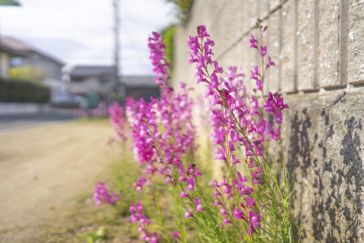 路地に咲くリナリア
