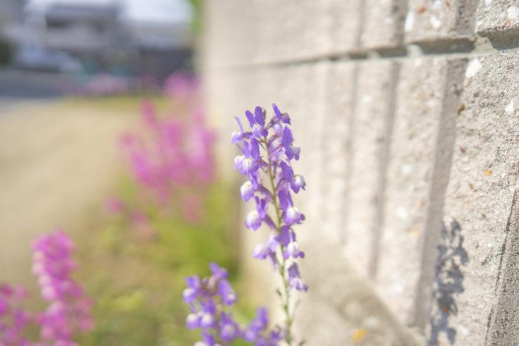 路地に咲くリナリア2