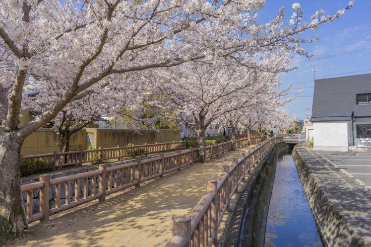 鹿の井出水の桜