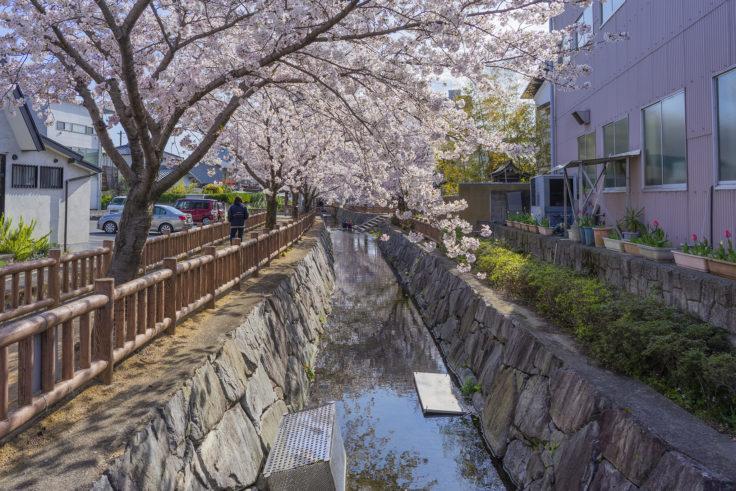 鹿の井出水の桜2