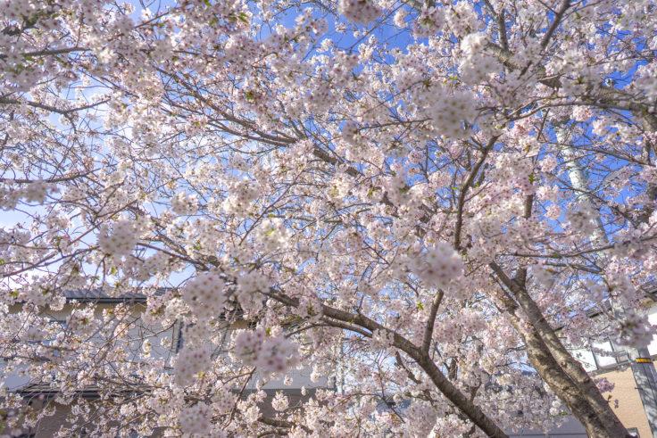 鹿の井出水の桜3