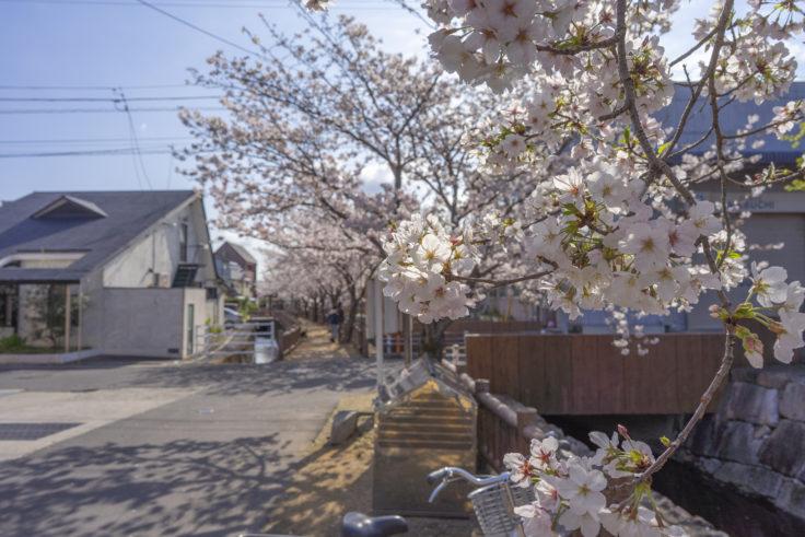 鹿の井出水の桜5