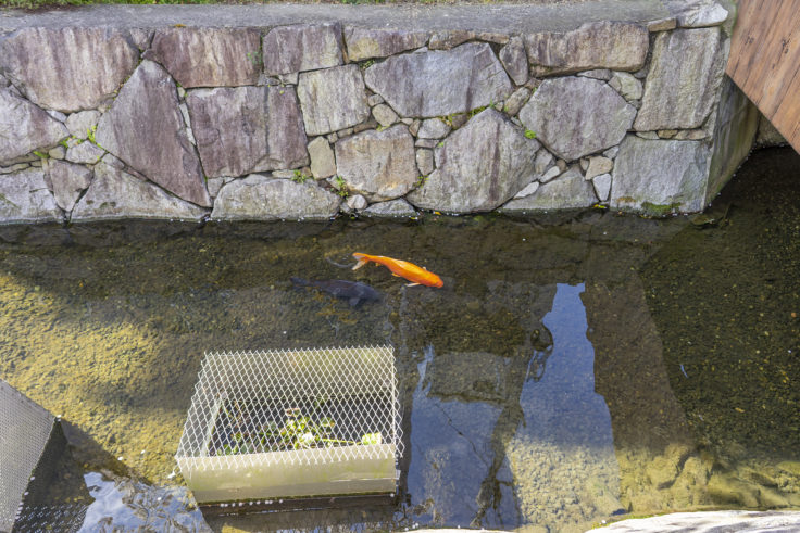 鹿の井出水の鯉