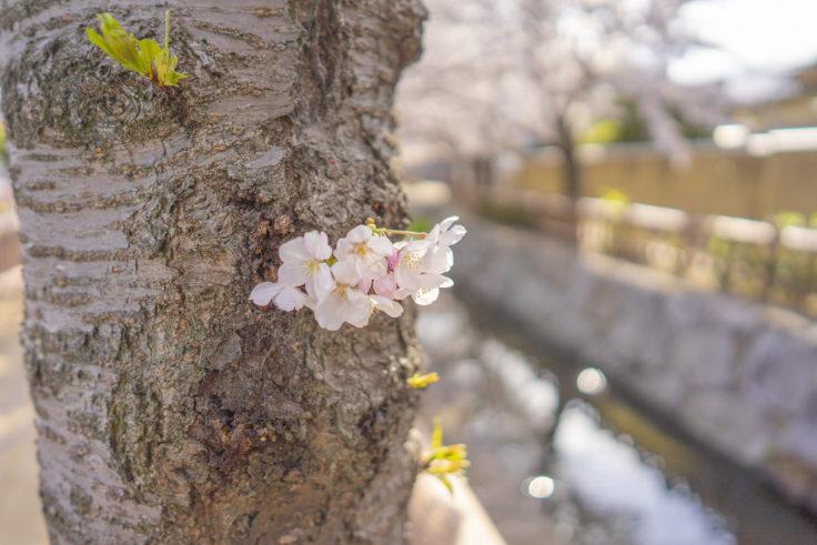 鹿の井出水の桜6
