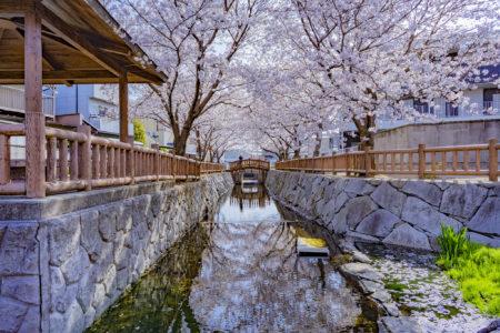 鹿の井出水の桜リフレクション
