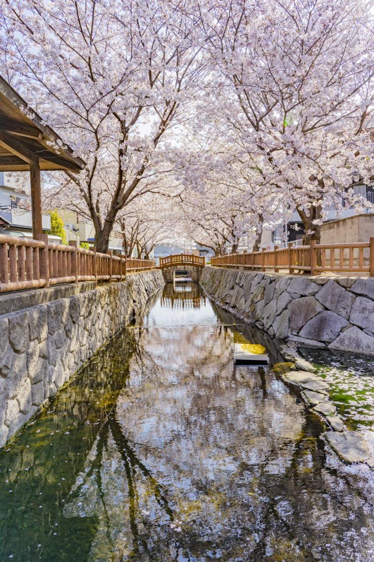 鹿の井出水の桜リフレクション2