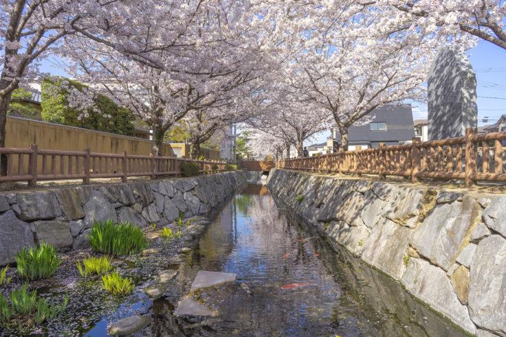 鹿の井出水の桜リフレクション4