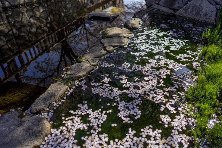鹿の井出水の桜花筏