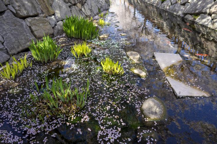 鹿の井出水の桜花筏3