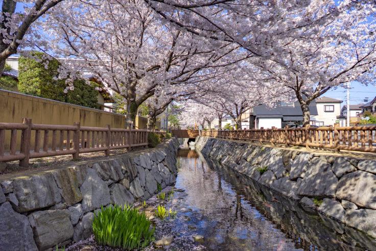 鹿の井出水の桜7