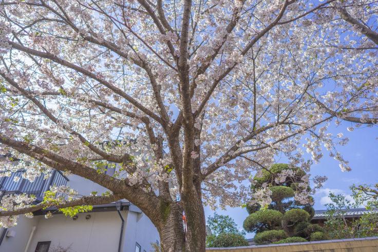 鹿の井出水の桜8