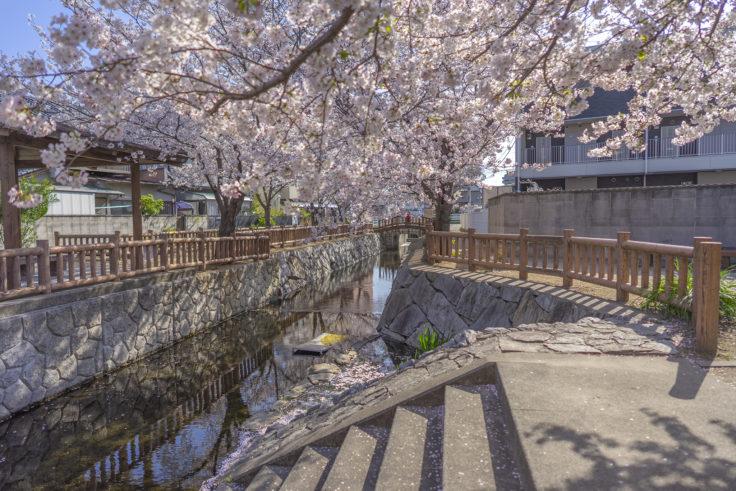 鹿の井出水の桜9