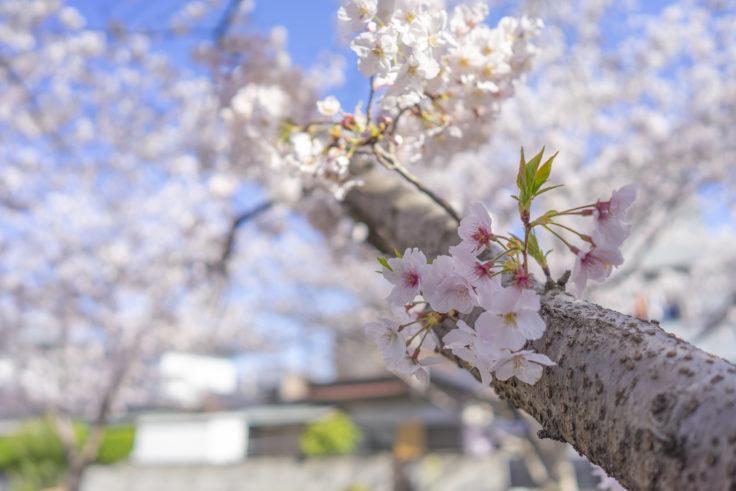 鹿の井出水の桜10