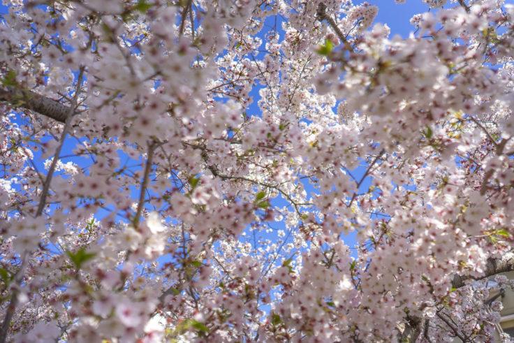 鹿の井出水の桜11