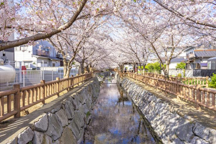 鹿の井出水の桜12