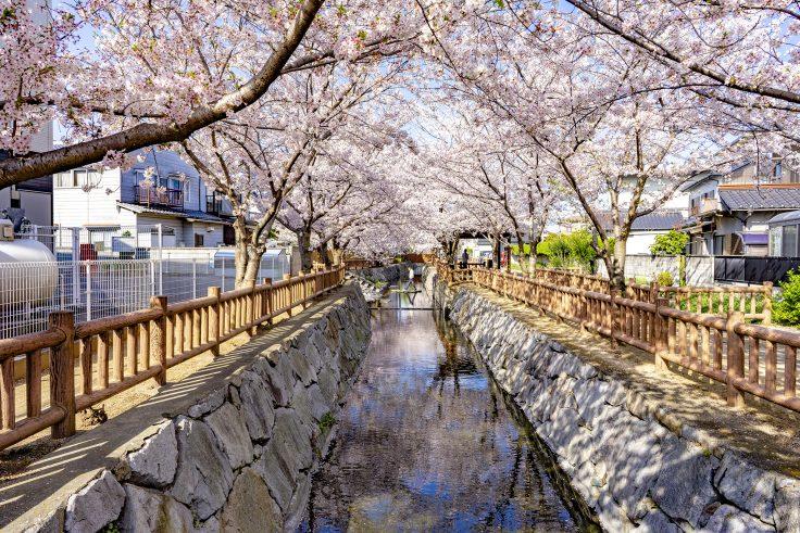 鹿の井出水アーチ橋から見た桜