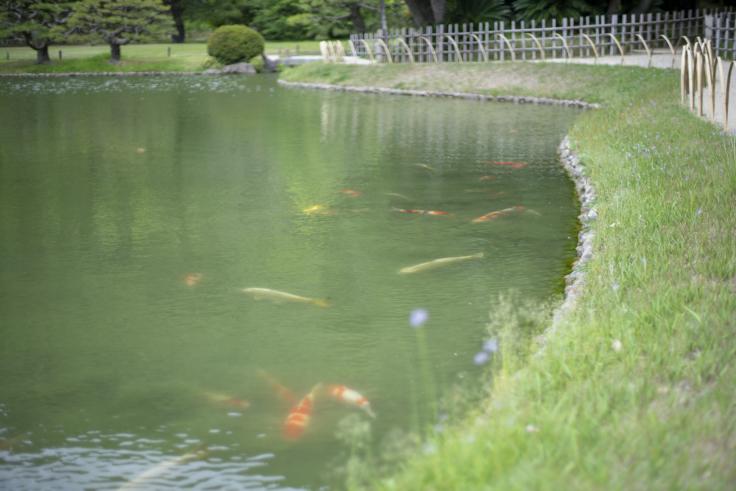 涵翠池(かんすいち)の鯉