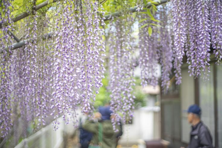 岩田神社の孔雀藤2