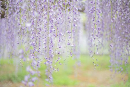 岩田神社の孔雀藤4