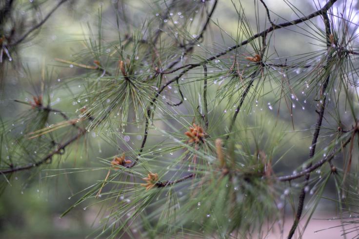 栗林公園の濡れた松