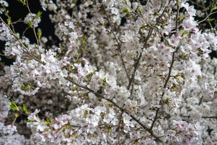 木太中央公園の夜桜ライトアップ6