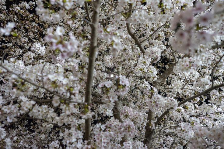 木太中央公園の夜桜ライトアップ7