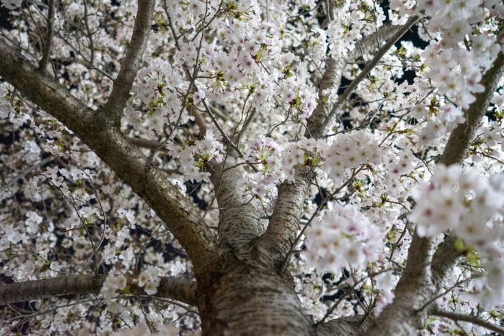 木太中央公園の夜桜ライトアップ8