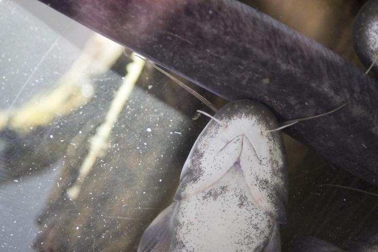 姫路市水族館のナマズ
