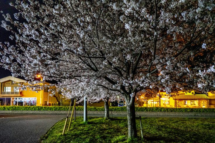 木太中央公園の夜桜ライトアップ5
