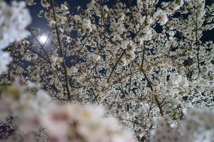 木太中央公園の夜桜ライトアップ11