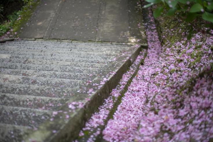 白峰神社の散った八重桜