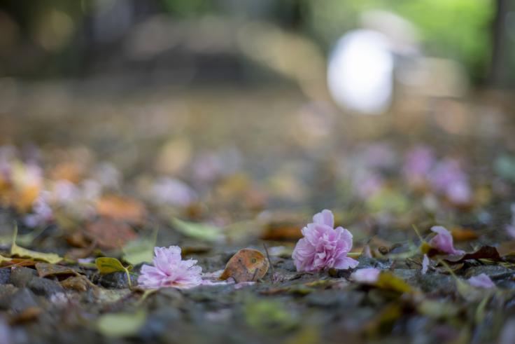 白峰神社の散った八重桜2