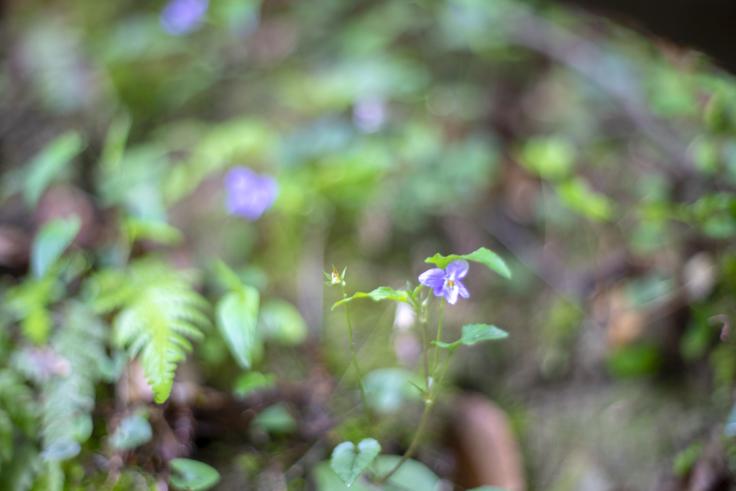 奥社の咲くスミレ
