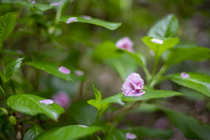 アジサイの葉っぱに八重桜