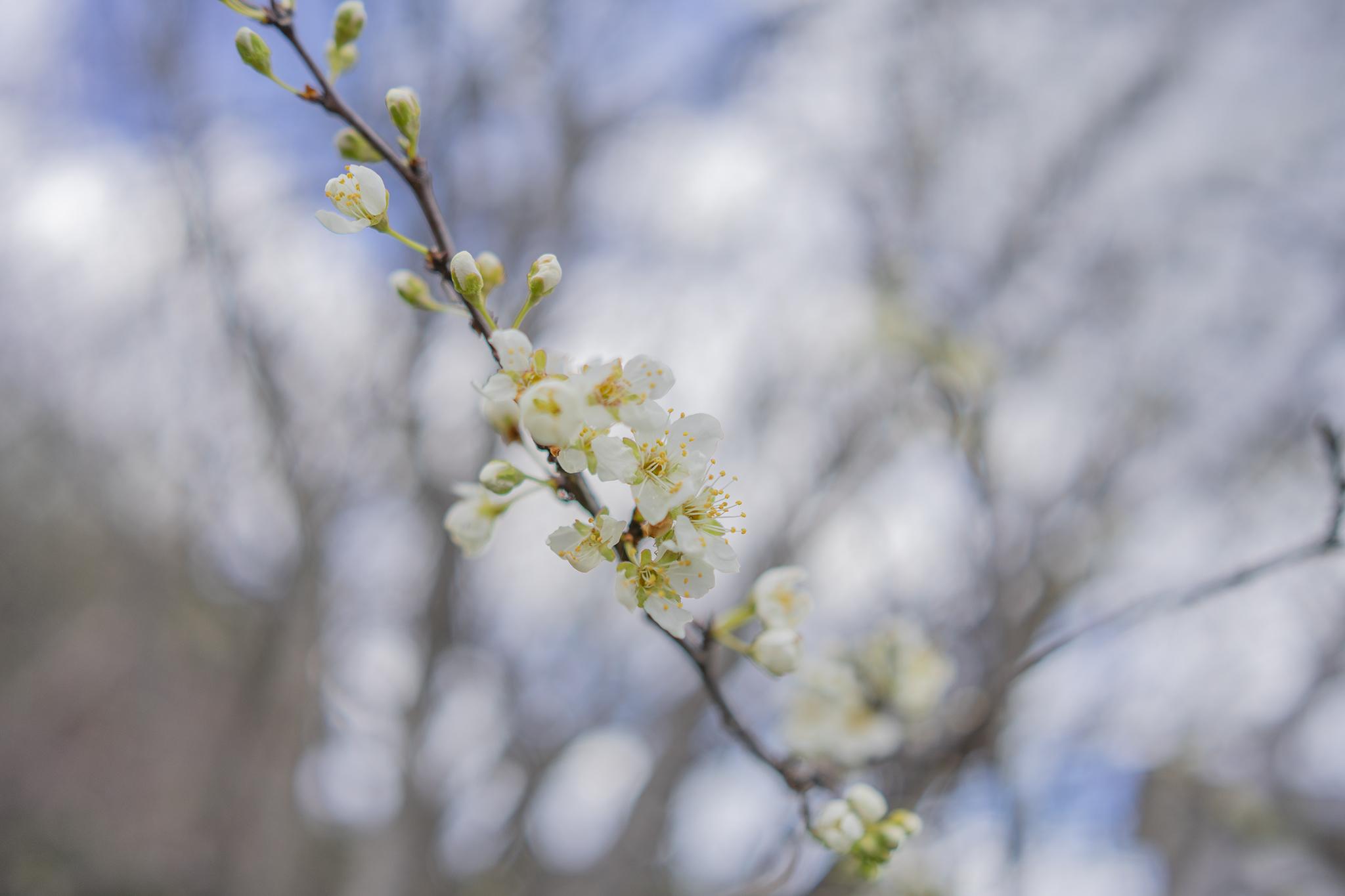 スモモの花言葉と誕生花