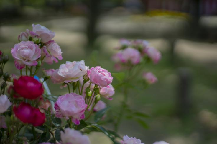 高松春のまつりフラワーフェスティバルのバラ