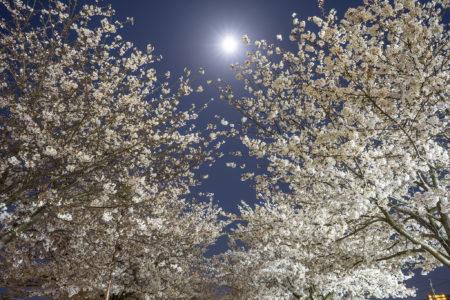木太中央公園の桜3