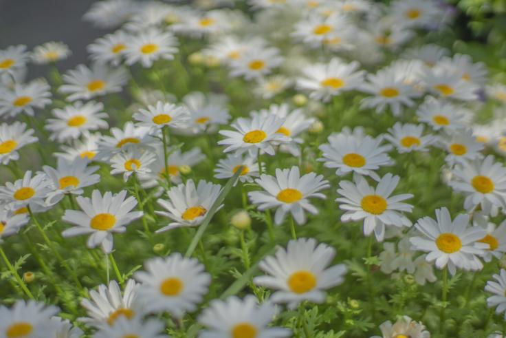 直島の花7