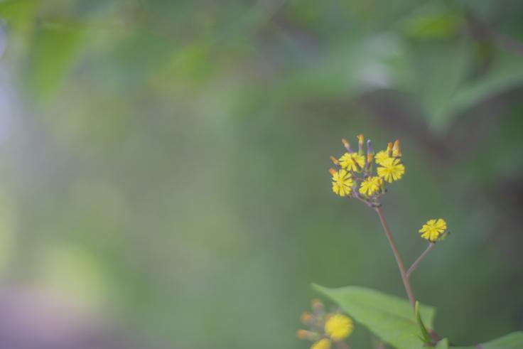 直島の花4
