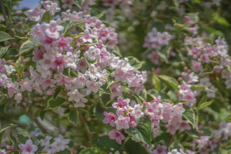 直島の花6