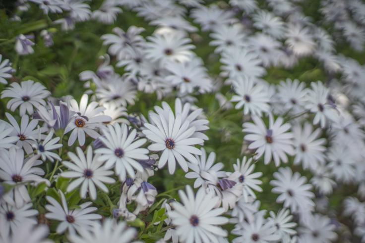 直島の花々