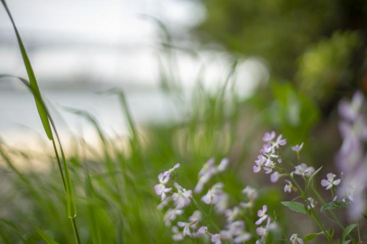 沙弥島の花