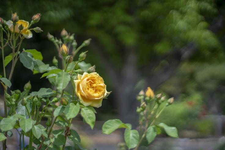 番の州公園のバラ2