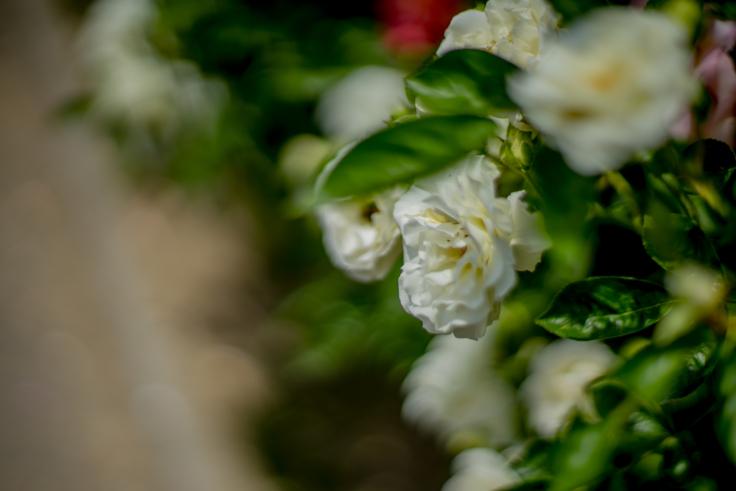 番の州公園のバラ3