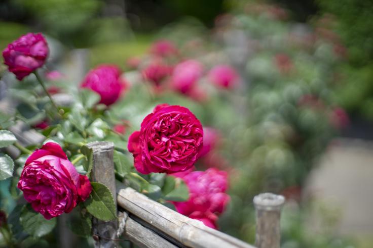 番の州公園のバラ4
