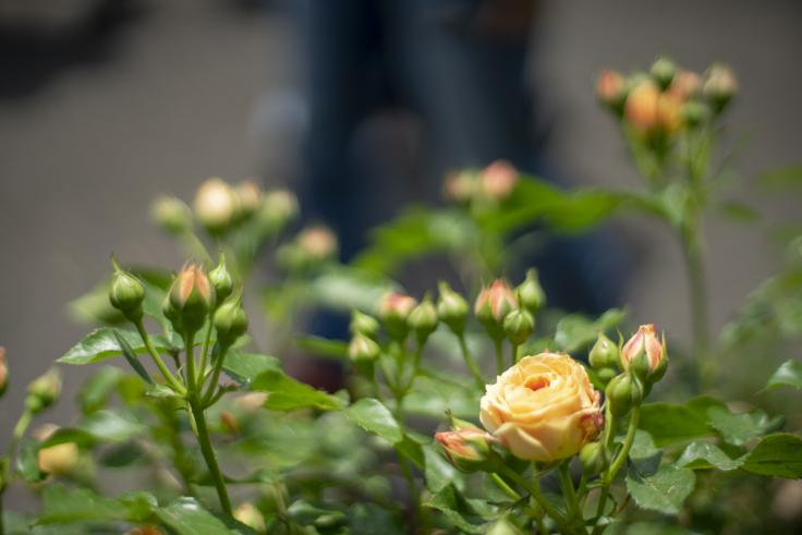 番の州公園のバラ7