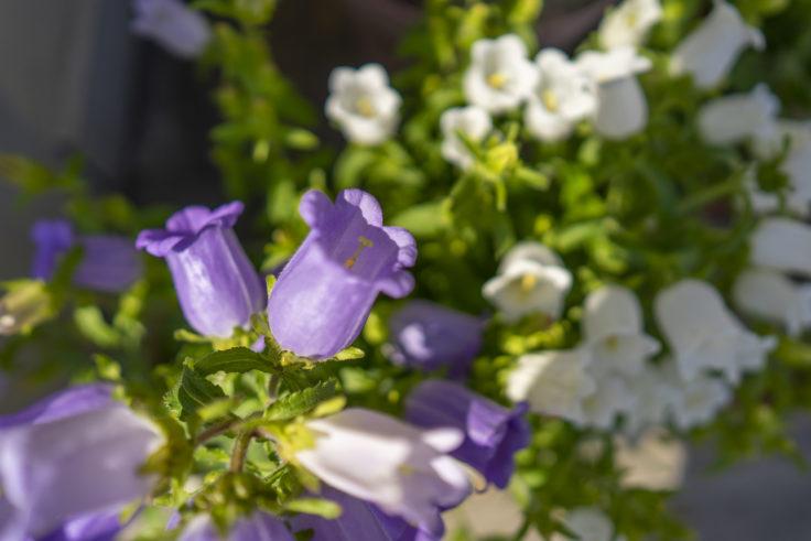 紫のカンパニュラ・メディウム