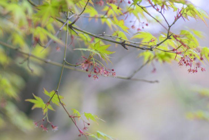 カエデの花3